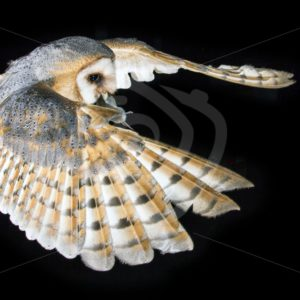 Barn owl flying with mouse in the beak - Nature Stock Photo Agency