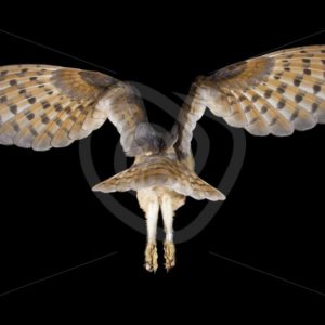 Barn owl in flight from behind in the night - Nature Stock Photo Agency