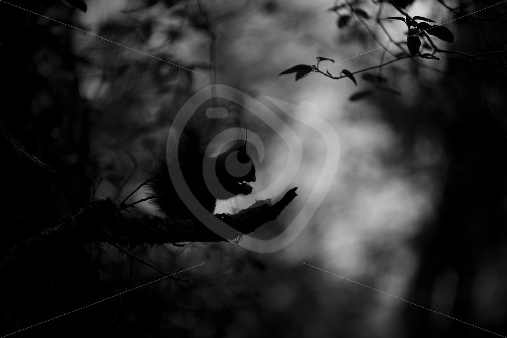 Black and white squirrel in forest - Nature Stock Photo Agency