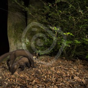Couple of European pine martens in a night scene - Nature Stock Photo Agency