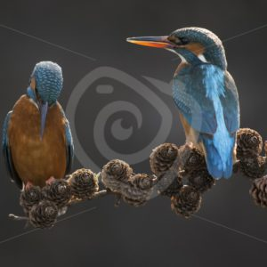 Couple of kingfishers on a branch - Nature Stock Photo Agency