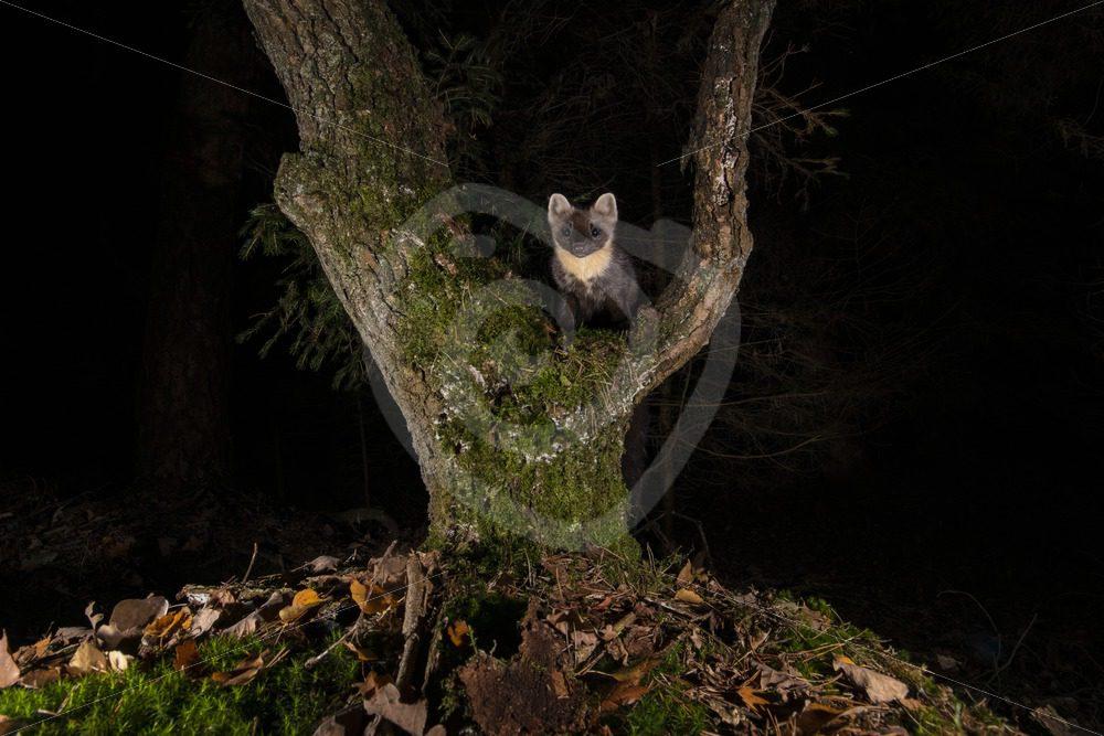European pine marten climbing in a tree - Nature Stock Photo Agency