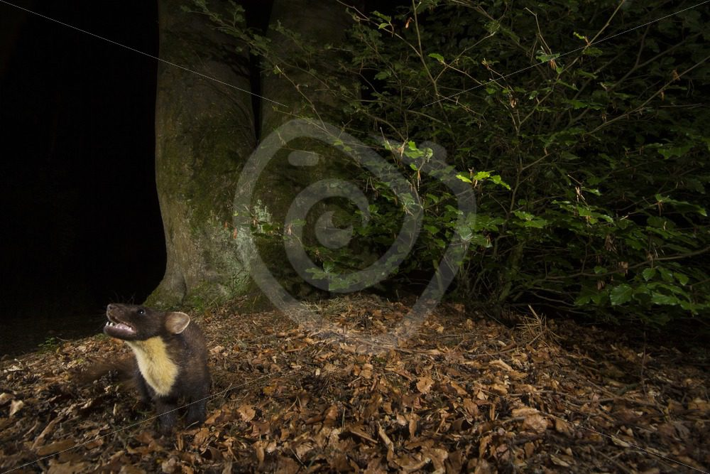 European pine marten in its environment - Nature Stock Photo Agency