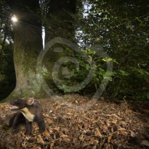 European pine marten in the early evening light - Nature Stock Photo Agency