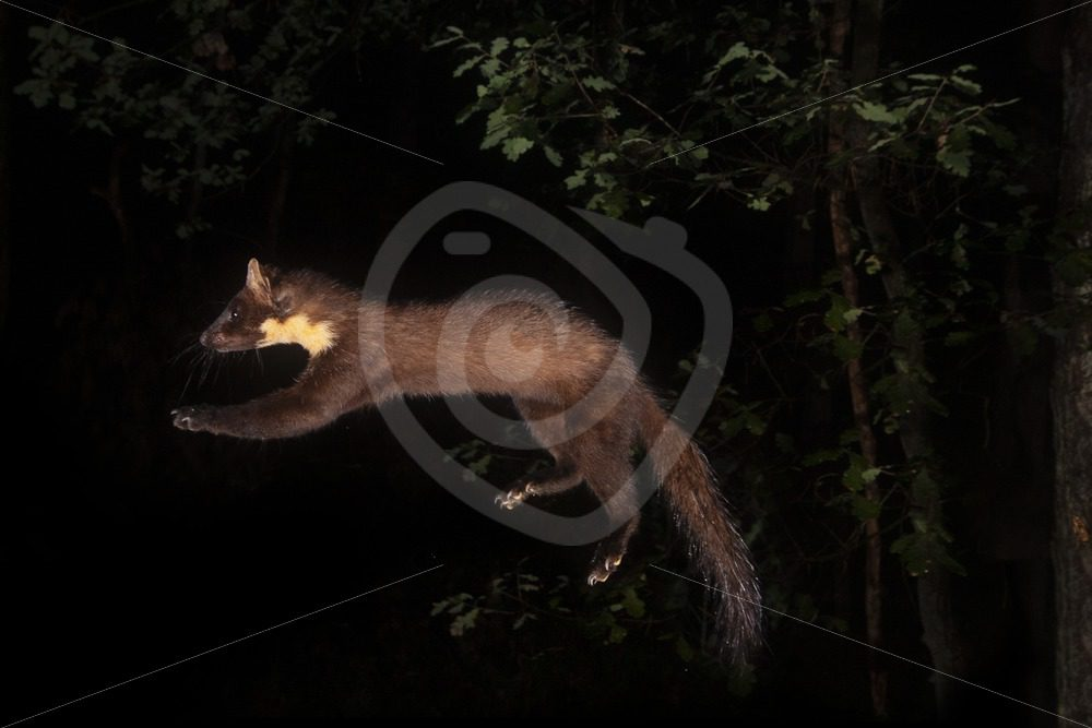 European pine marten jumping in the air - Nature Stock Photo Agency