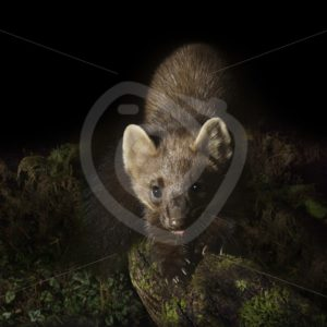 European pine marten looking into the camera - Nature Stock Photo Agency