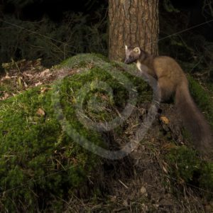 European pine marten next to tree in the night - Nature Stock Photo Agency