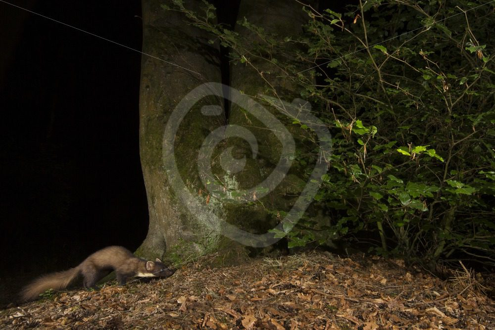 European pine marten passing a tree in the night - Nature Stock Photo Agency