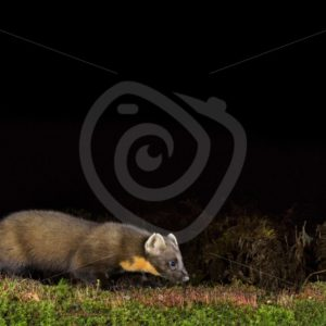 European pine marten sniffing on the ground - Nature Stock Photo Agency