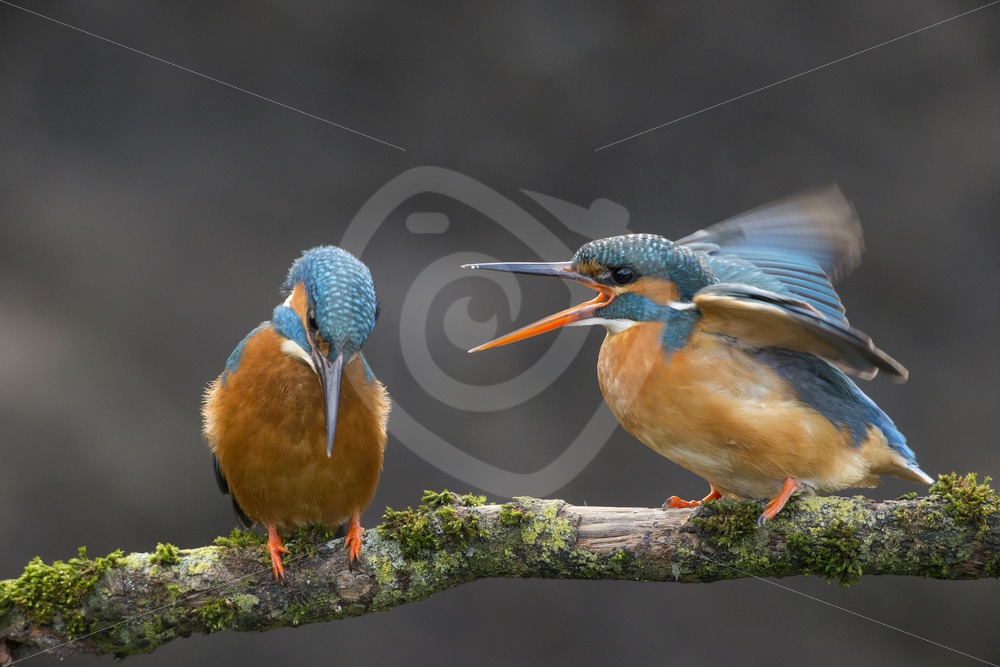 Kingfisher couple arguing - Nature Stock Photo Agency