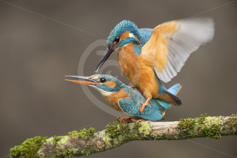 Kingfisher couple mating - Nature Stock Photo Agency
