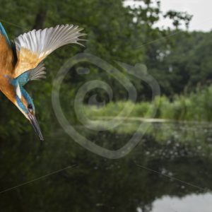 Kingfisher diving into the water - Nature Stock Photo Agency