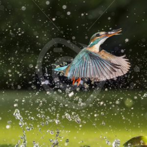 Kingfisher flying out of the water after dive - Nature Stock Photo Agency