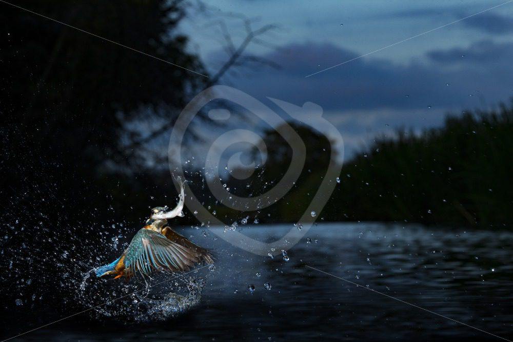 Kingfisher flying out of the water with fish - Nature Stock Photo Agency