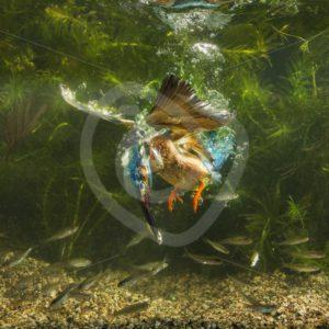 Kingfisher underwater dive - Nature Stock Photo Agency