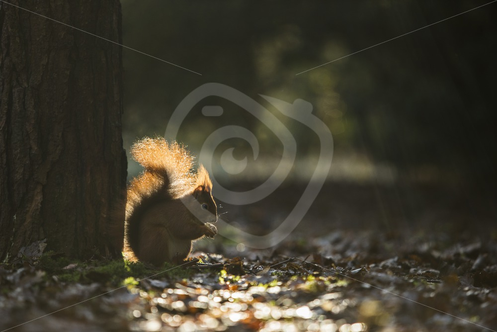 Red squirrel in a line of sunshine - Nature Stock Photo Agency