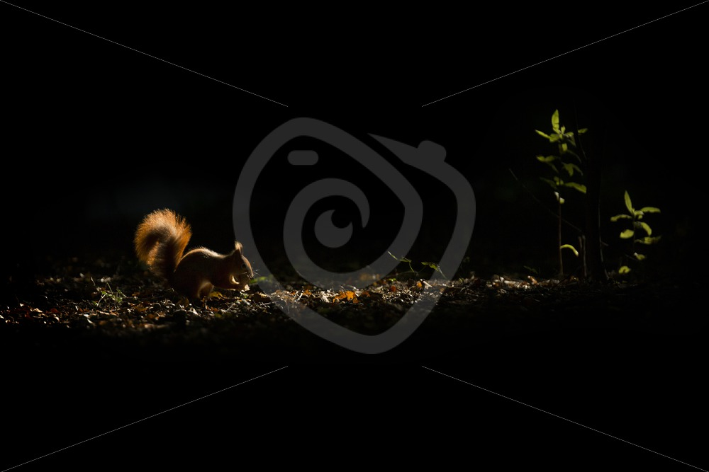 Red squirrel in the dark part of the forest - Nature Stock Photo Agency