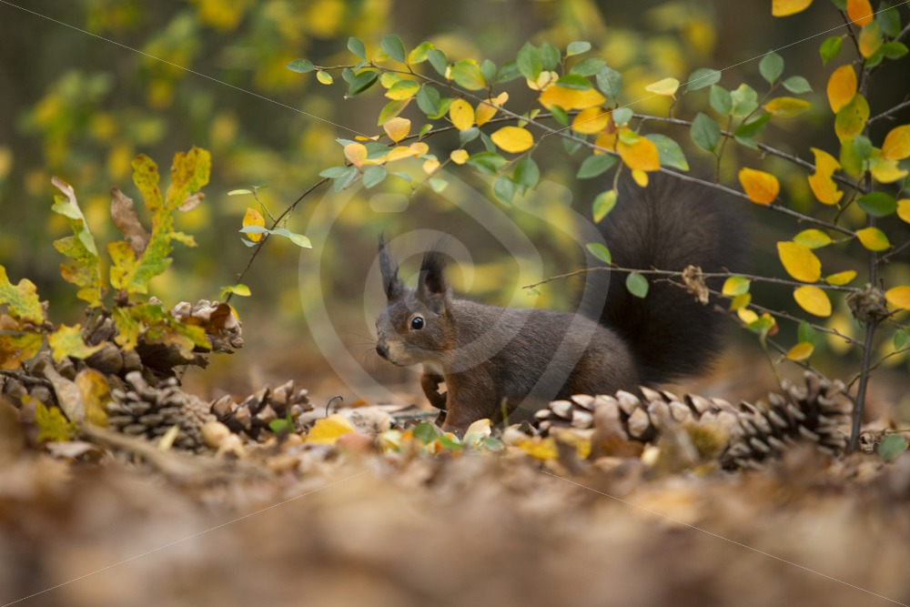 Red squirrel in the forest - Nature Stock Photo Agency