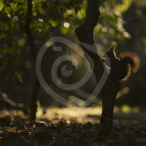 Red squirrel in the shadow - Nature Stock Photo Agency