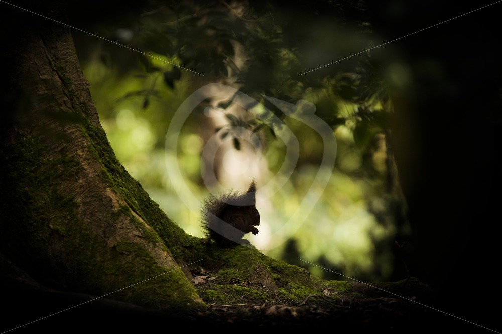 Red squirrel in the shadow of a tree - Nature Stock Photo Agency
