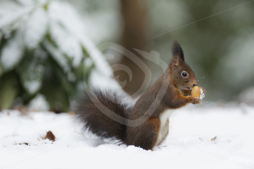 Red squirrel in the snow - Nature Stock Photo Agency