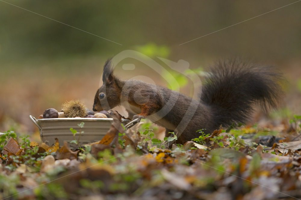 Red squirrel looking for food - Nature Stock Photo Agency