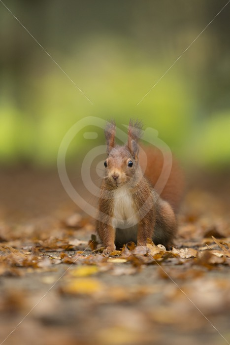 Red squirrel looking in front - Nature Stock Photo Agency