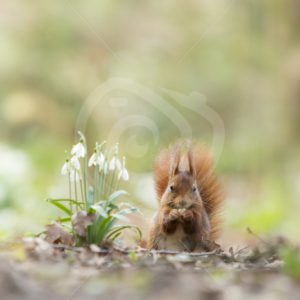 Red squirrel next to some snowdrop flowers - Nature Stock Photo Agency