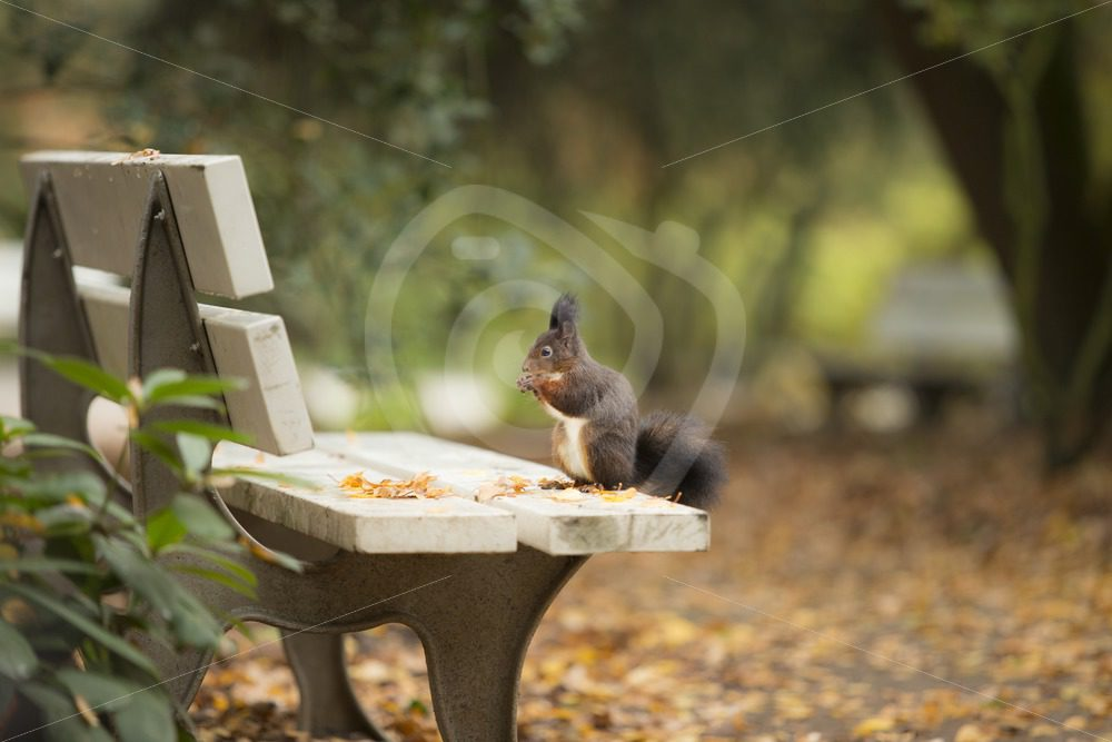 Red squirrel on a bench in the park - Nature Stock Photo Agency