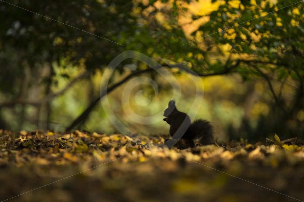 Red squirrel on the forest floor between leaves - Nature Stock Photo Agency