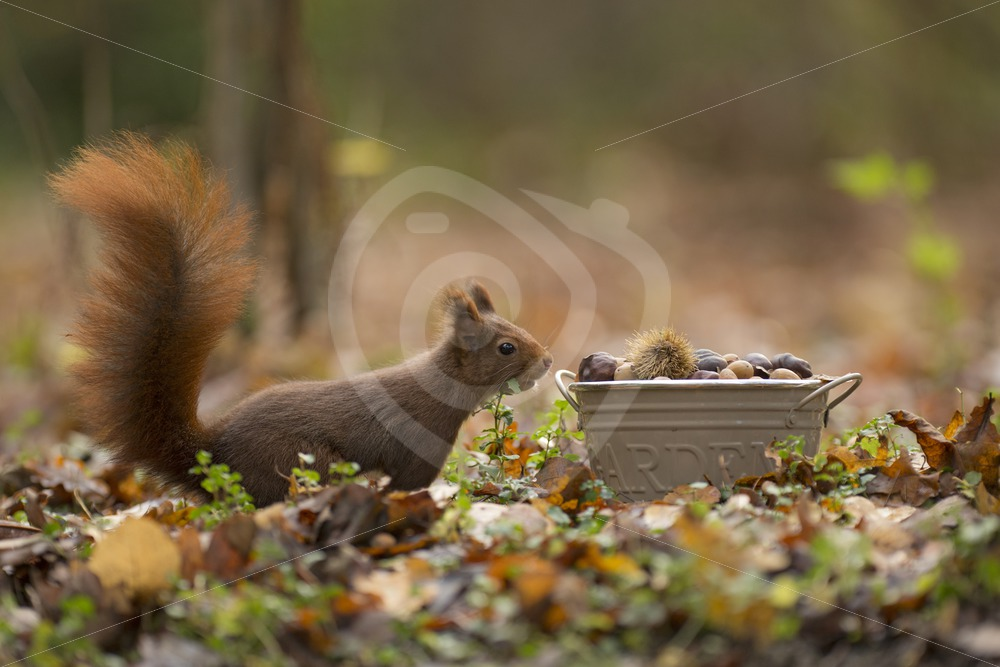 Red squirrel searching food - Nature Stock Photo Agency
