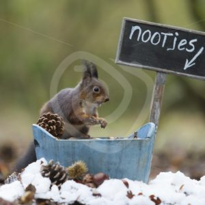 Red squirrel stealing some food - Nature Stock Photo Agency