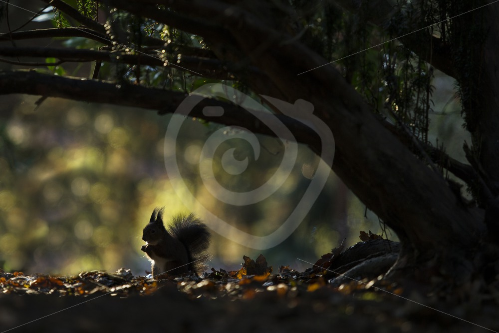 Red squirrel under a tree with shadow - Nature Stock Photo Agency