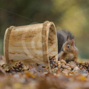 Red squirrel with a wooden bucket - Nature Stock Photo Agency