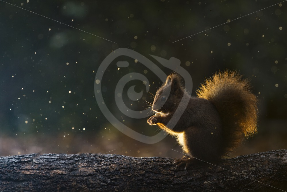 Red squirrel with back light of the sun - Nature Stock Photo Agency