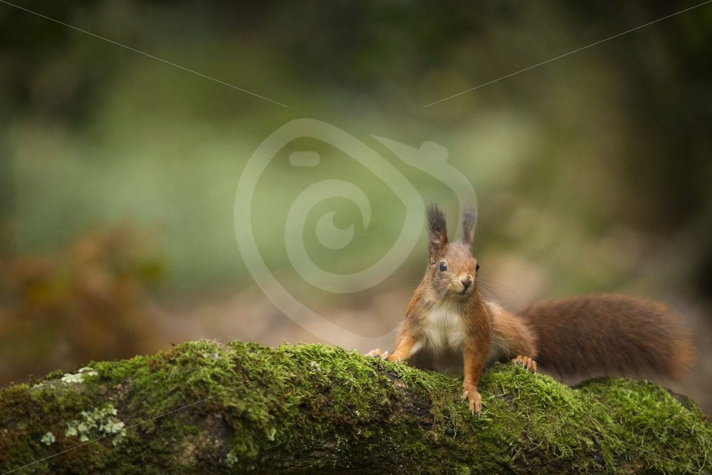 Red squirrel with bokeh background - Nature Stock Photo Agency