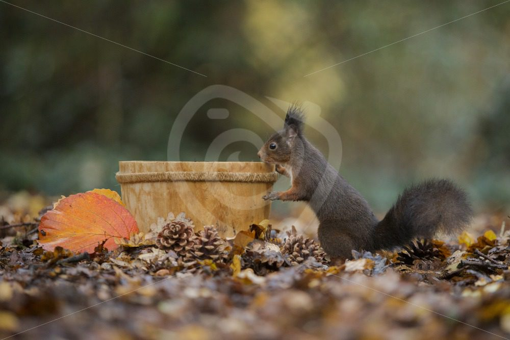 Red squirrel with bucket and pine cones - Nature Stock Photo Agency