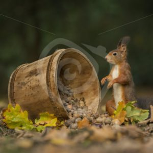 Red squirrel with bucket of acorns - Nature Stock Photo Agency