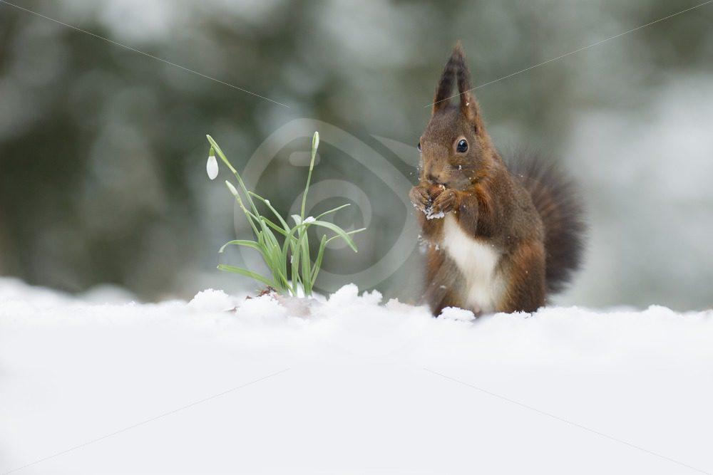 Squirrel in snow scene - Nature Stock Photo Agency