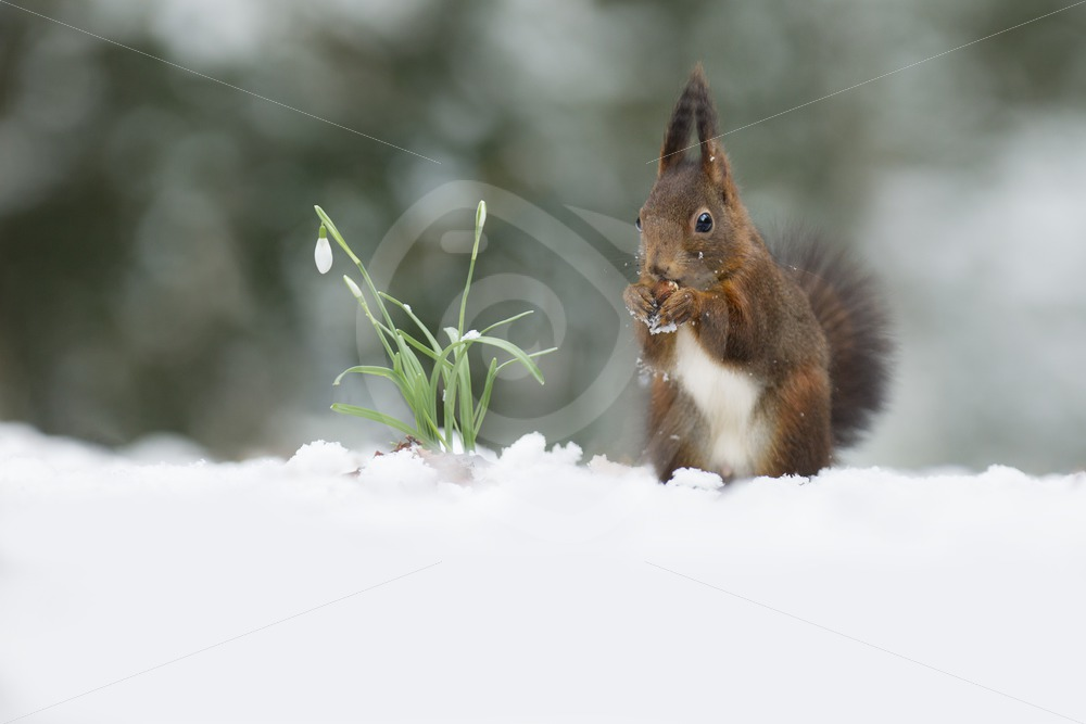 Squirrel in snow scene - Nature Stock Photo Agency