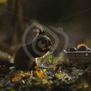 Squirrel in the shadow eating chestnuts - Nature Stock Photo Agency