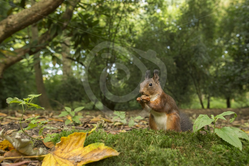 Wide angle of red squirrel - Nature Stock Photo Agency