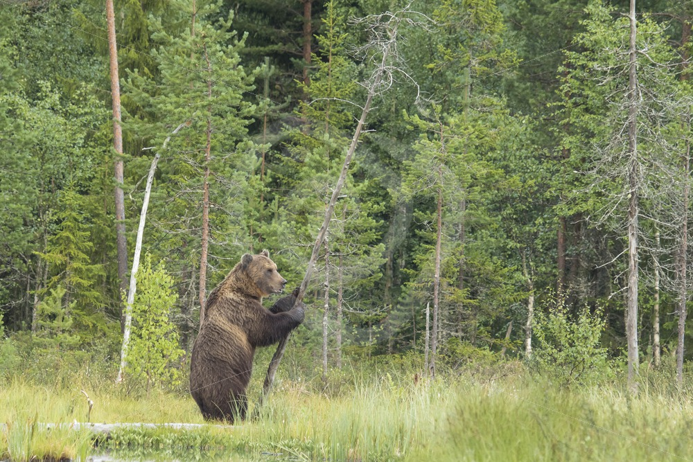 Brown bear hugging a tree - Nature Stock Photo Agency