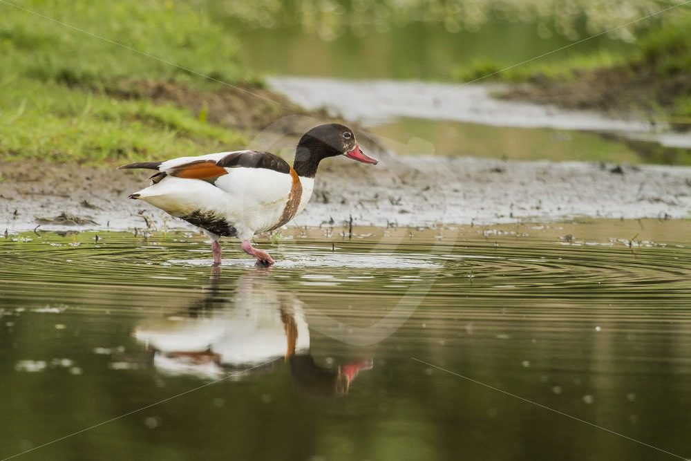 Common shelduck wading the creek - Nature Stock Photo Agency