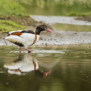 Common shelduck wading the creek - Nature Stock Photo Agency