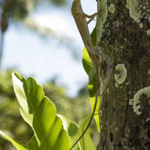 Female Oriental garden lizard in a tree - Nature Stock Photo Agency