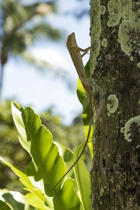 Female Oriental garden lizard in a tree - Nature Stock Photo Agency