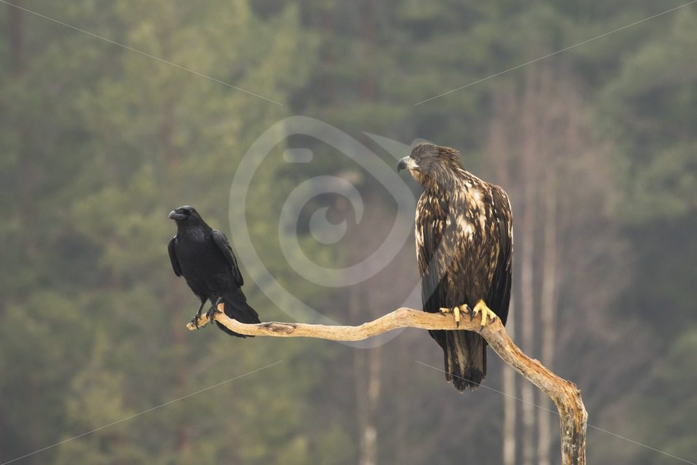 Juvenile white-tailed eagle and hooded crow sharing a branch - Nature Stock Photo Agency