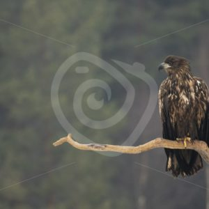 Juvenile white-tailed eagle on a tree branch - Nature Stock Photo Agency