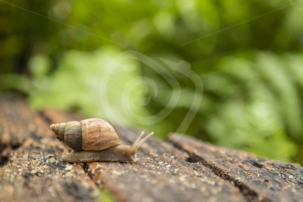 Land snail crawling over wood - Nature Stock Photo Agency